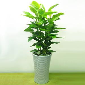 뱅갈고무나무 D66